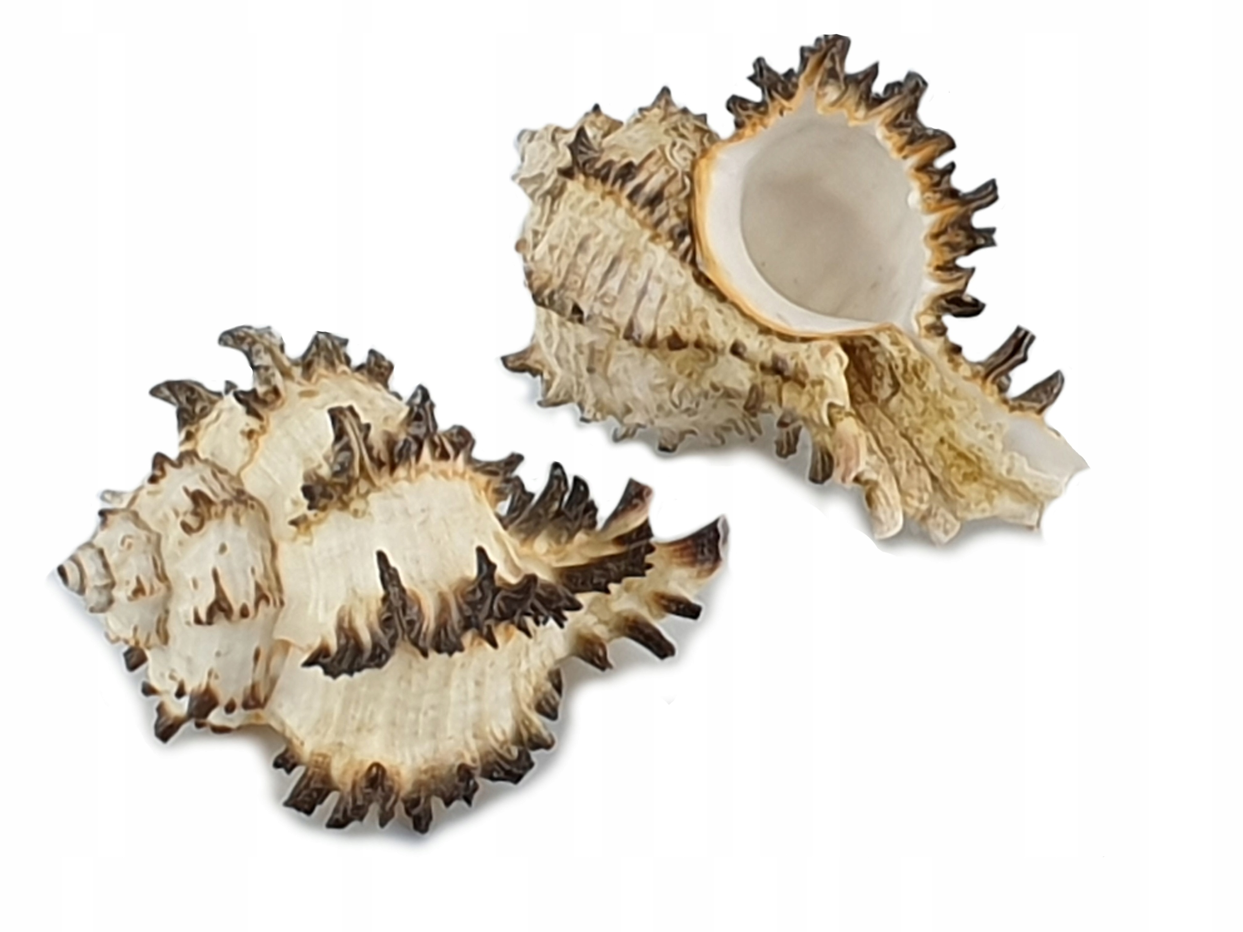 большая ракушка РАКУШКИ РАКУШКИ MUREX из Филиппин 8 см