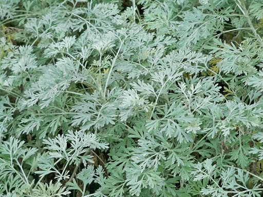 Bylica piołun-Artemisia absinthium-nasiona 300szt