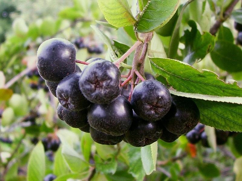 Купить Свежие фрукты черноплодной рябины 1 кг с органической плантации на Otpravka - цены и фото - доставка из Польши и стран Европы в Украину.