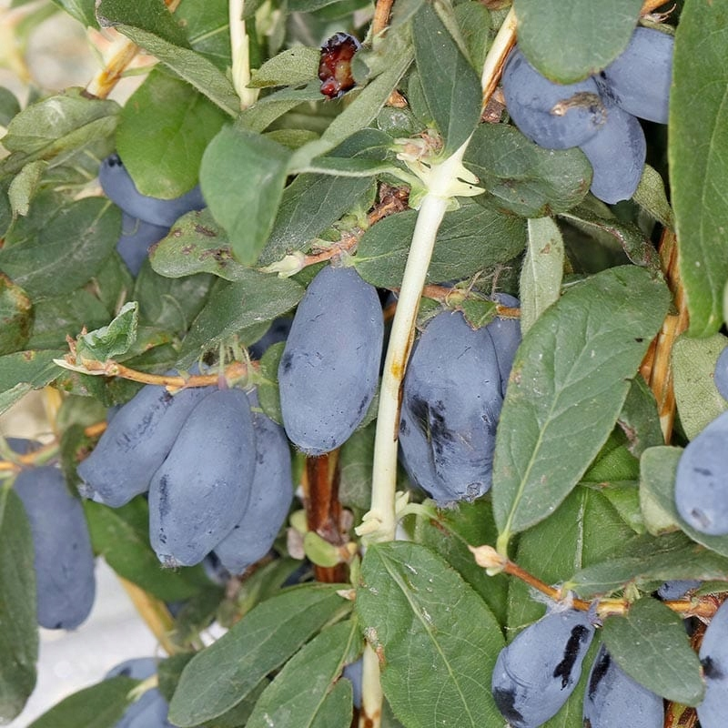 NEW Kamchatka Berry BOREAL BLIZZARD - 3 года