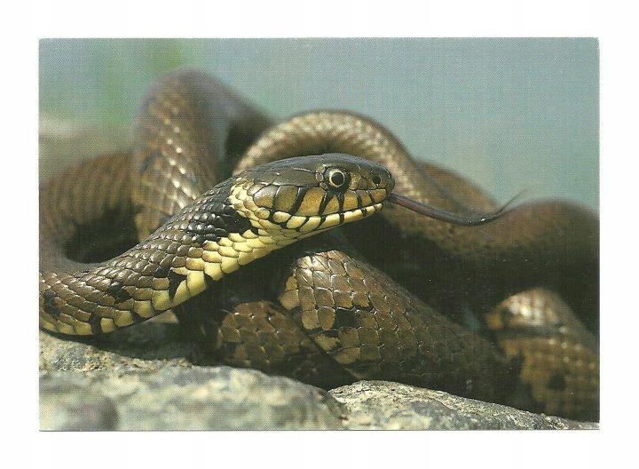 Открытка - Травяная змея на камнях / портрет змеи