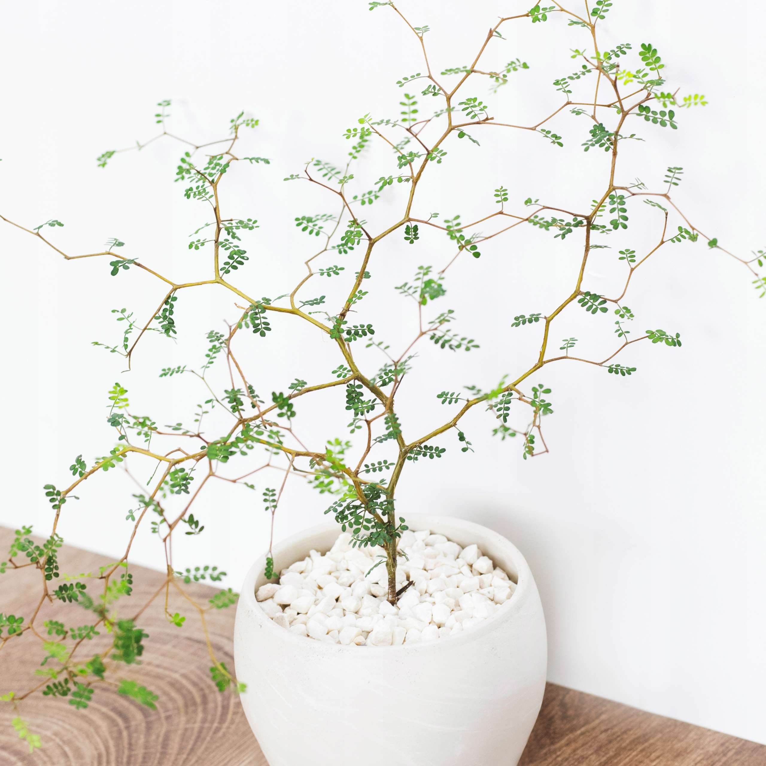 Sophora 'Little Baby' Perełkowiec drobnolistny