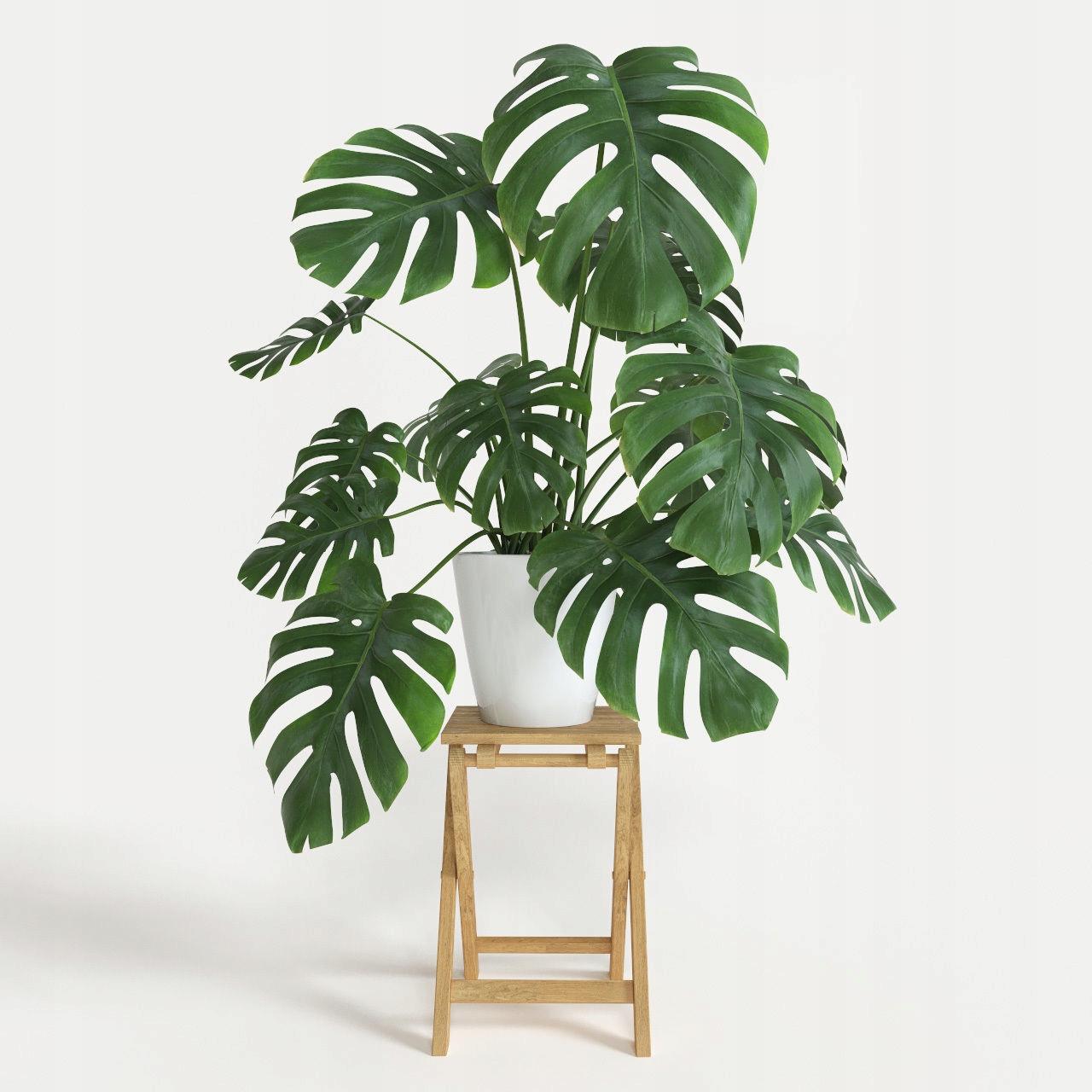 rośliny wdomu monstera
