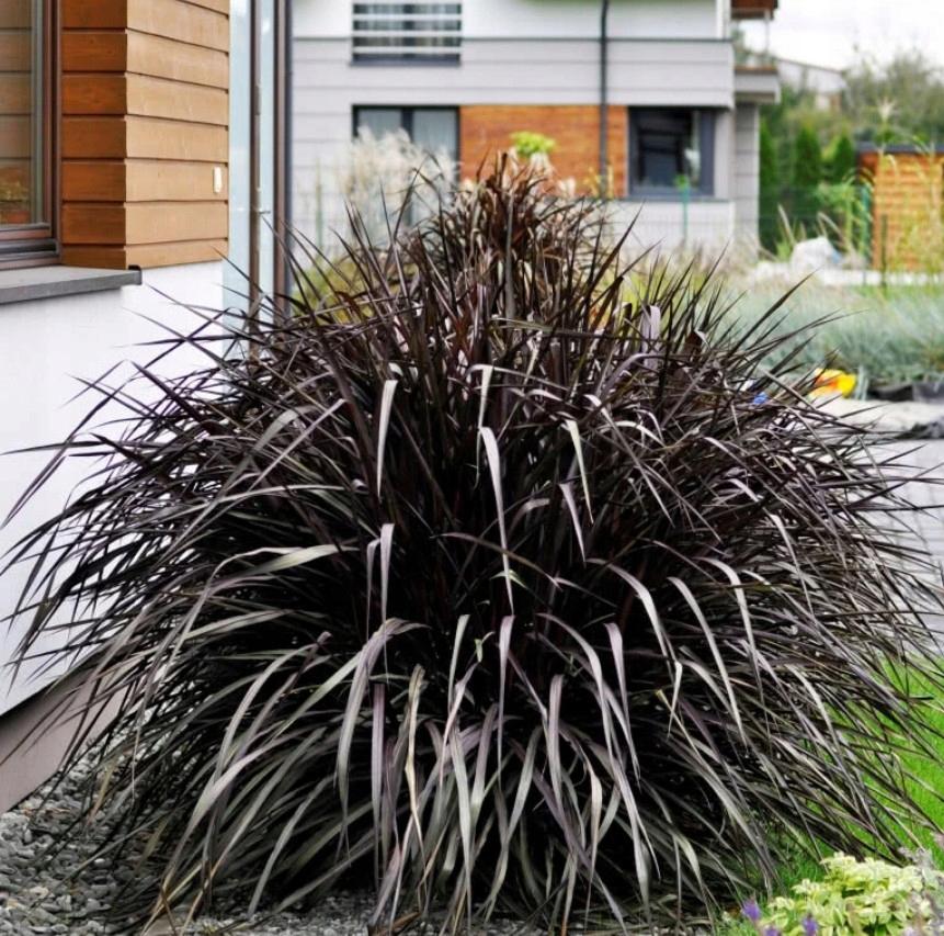 Головокружение слон подошвенная черная трава цветочный горшок