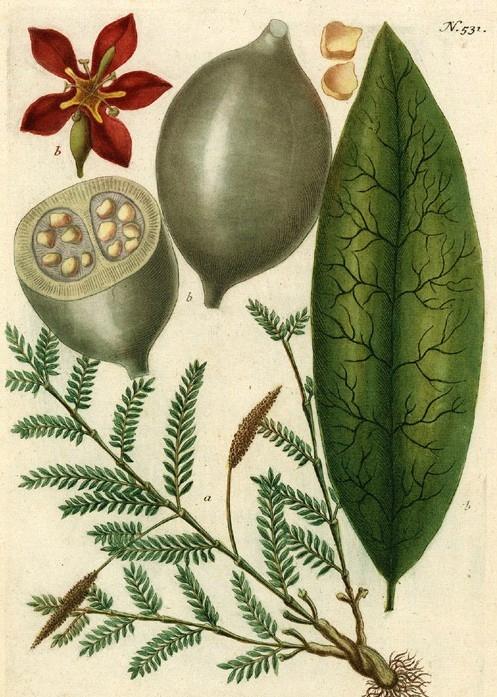 Genipa americana - Marmolade Box NASIONA