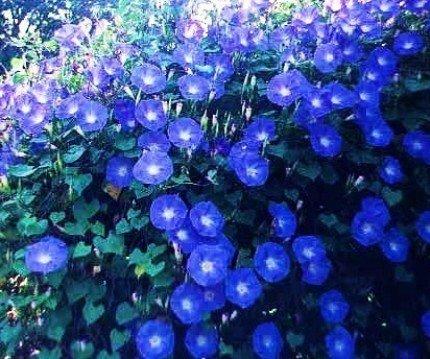 WILEC HAWENLY BLUE ЛАЗУРНЫЙ цветы НА БЕСЕДКИ
