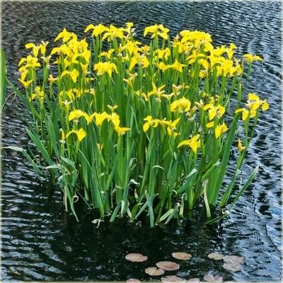 ЖЕЛТЫЙ ИРИС Желтый ирис Растения для пруда