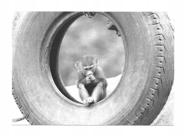 Открытка - Молодой мантийный павиан в зоопарке / обезьяна