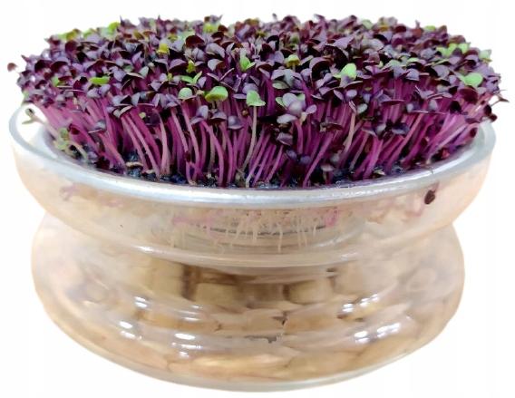 BASIL Red - Микрозелень, для проростков 10 г
