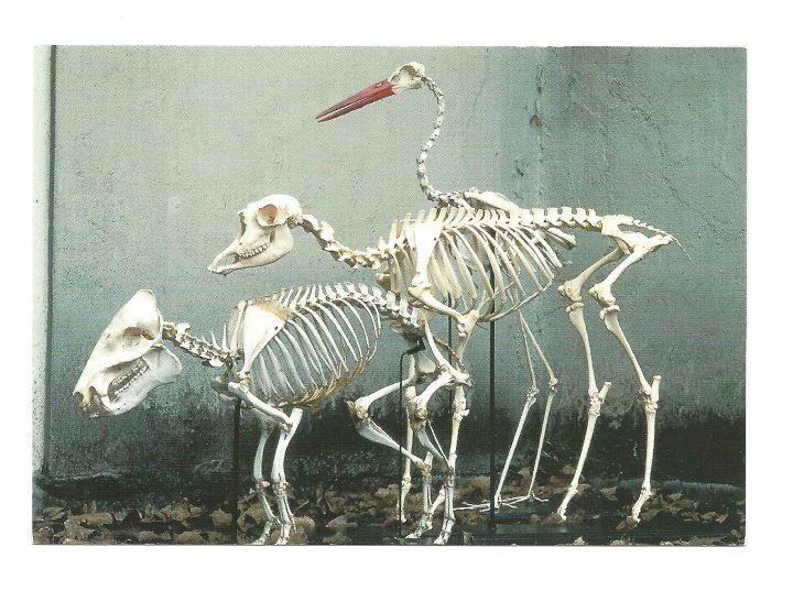 Pocztówka - Szkielety dzika, antylopy i bociana