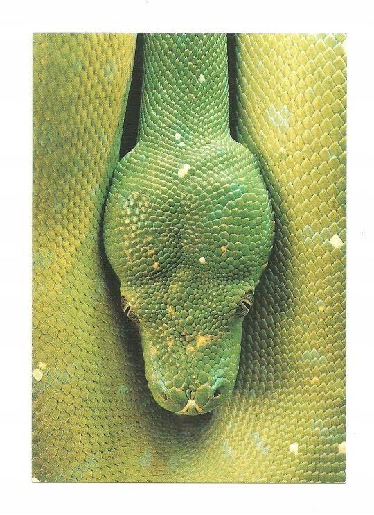 Открытка - Зеленый питон / портрет змеи / рептилии