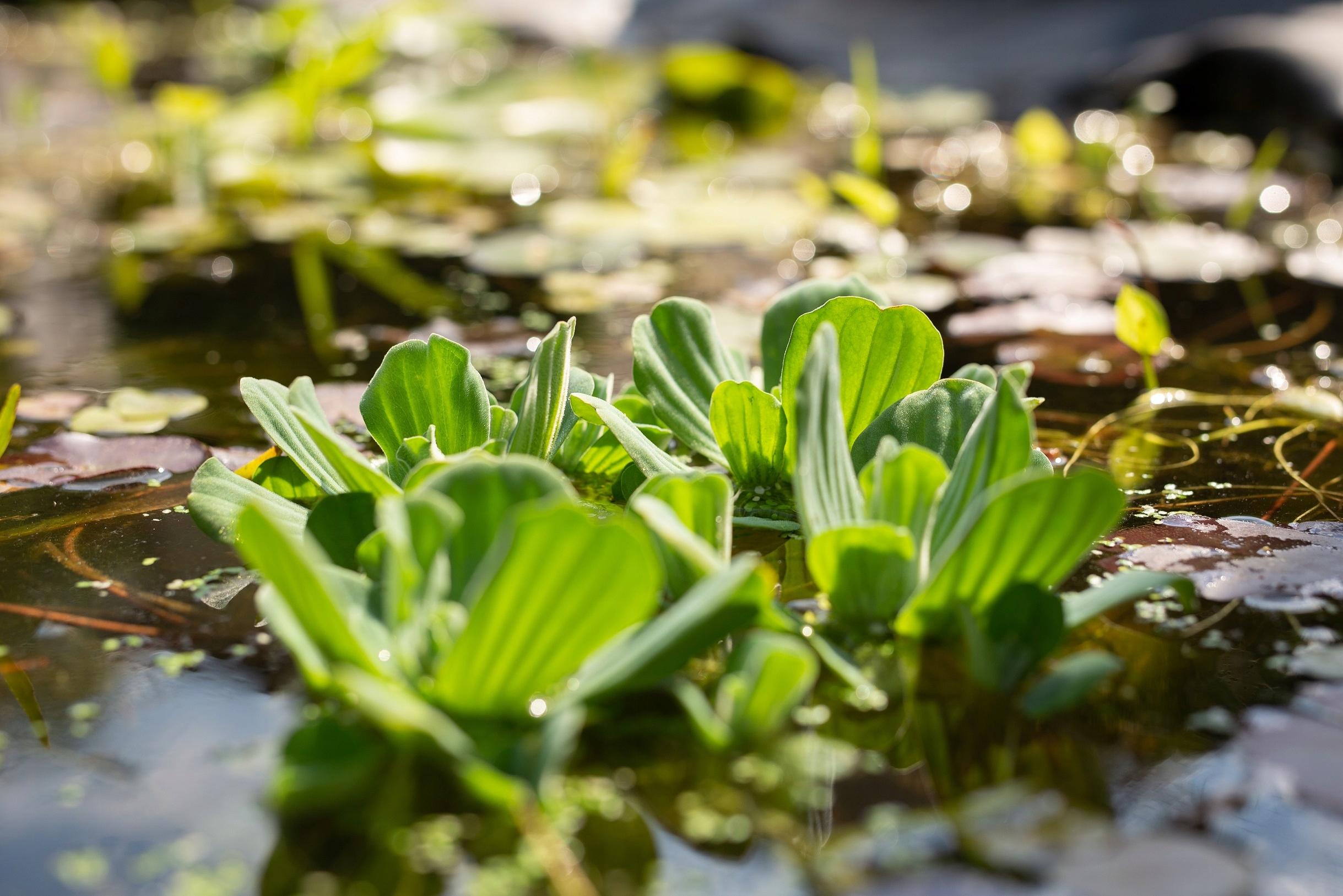 БОЛЬШОЕ РАСТЕНИЕ ПИСТИЯ Плавающее в пруду