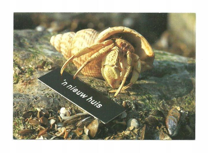 Pocztówka- Krab pustelnik w muszli, czyli Nowy dom