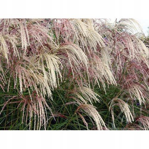 Мискантус китайский Каскаде - Декоративная трава! СЛИВА