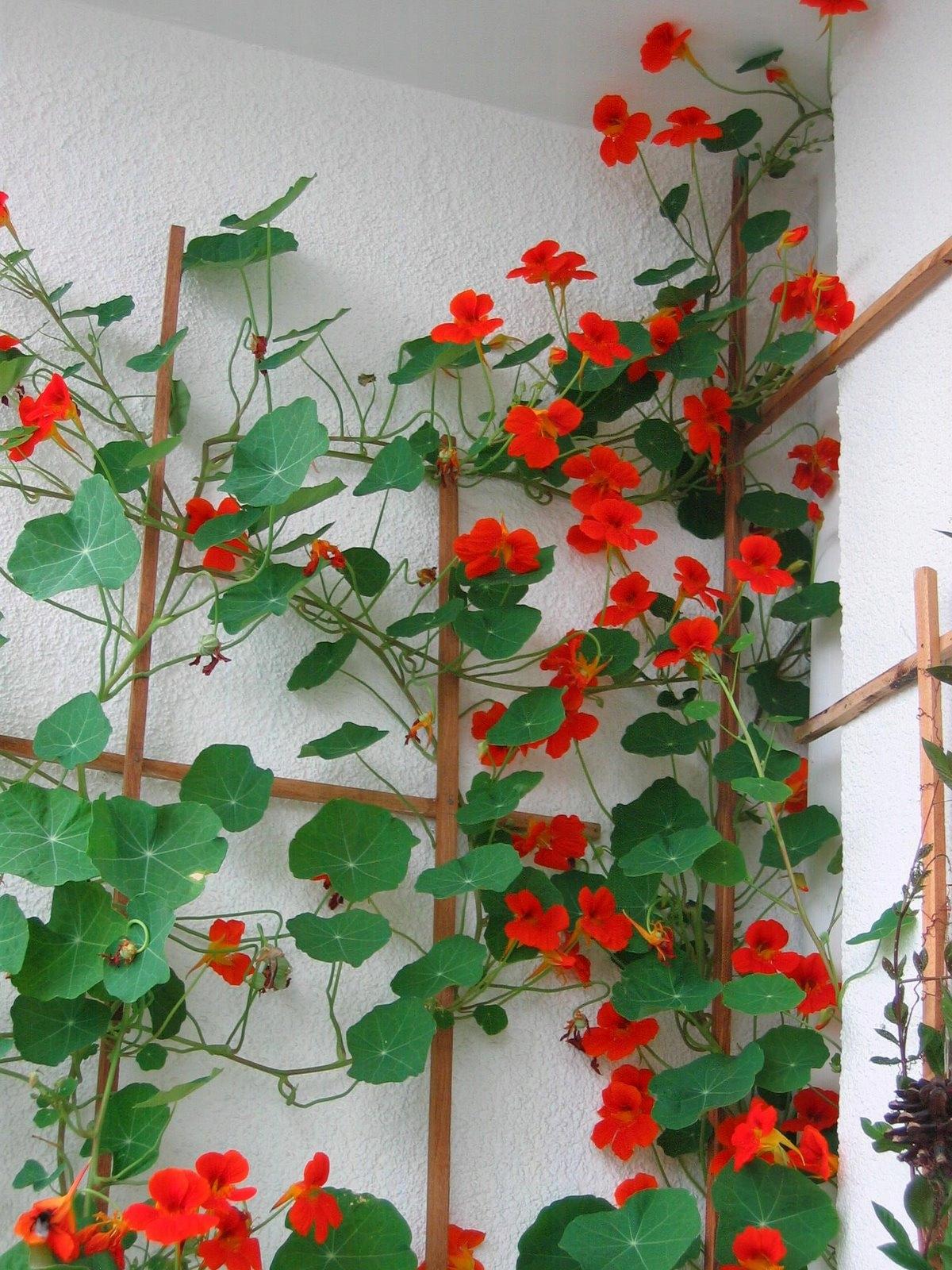 НАСТУРЦИЯ ВЬЮЩАЯСЯ красное цветы НА ТЕРРАСЫ