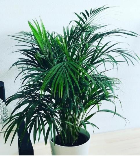 Chamedora Elegans - Coral Palm XL Beautiful !!