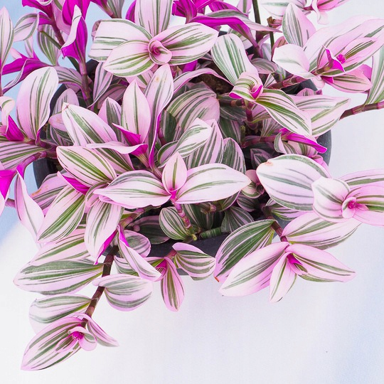 ТРИ РАЗА Традесканция «Наноук» в цвете!