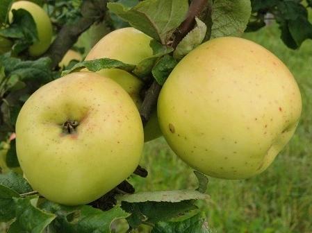 Jabłoń KOSZTELA stara POLSKA O SŁODKICH OWOCACH