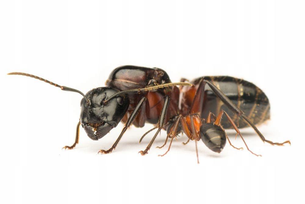 Camponotus ligniperda. Mrówki do formikarium.