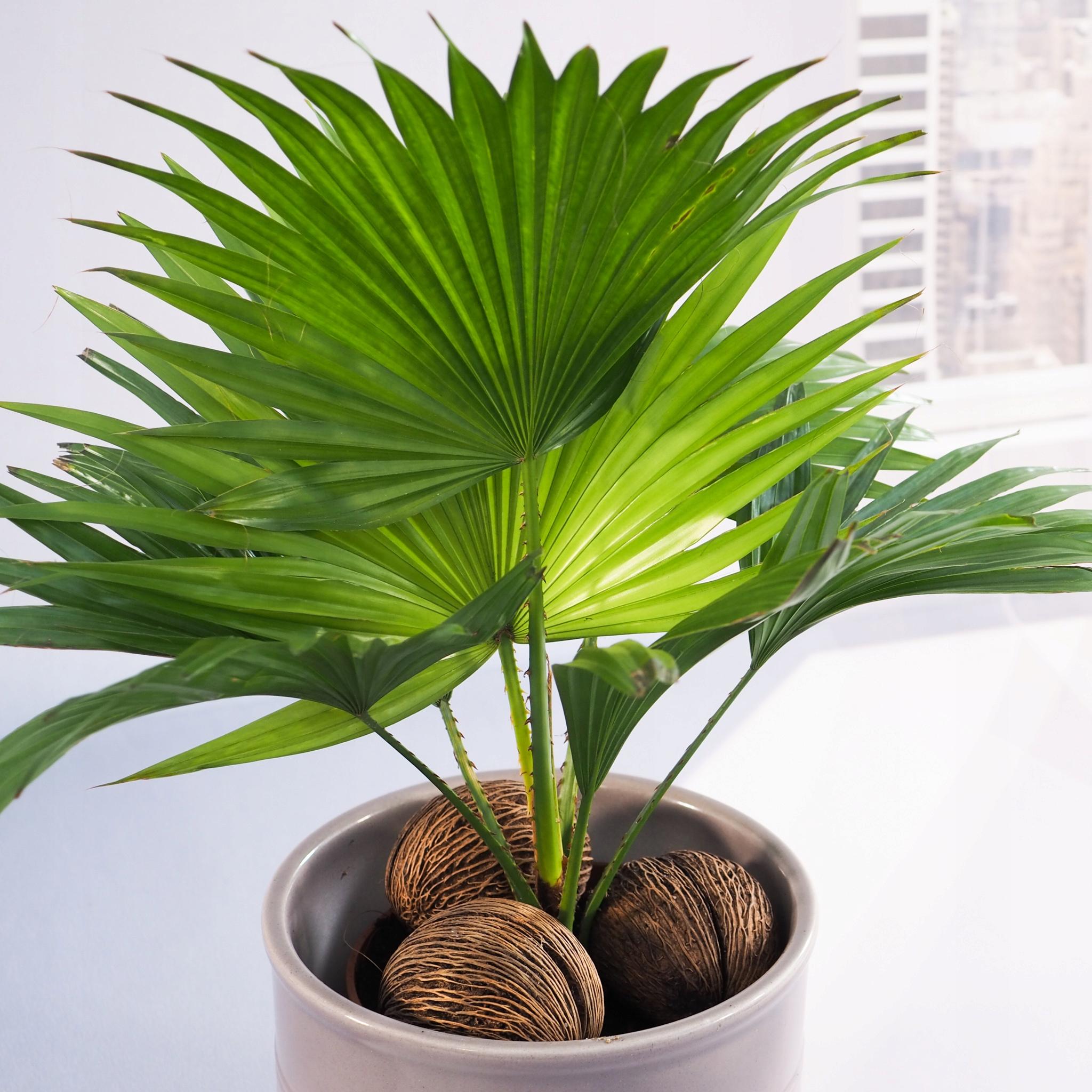 Livistona rotundifolia extra PALMA do Twojego domu