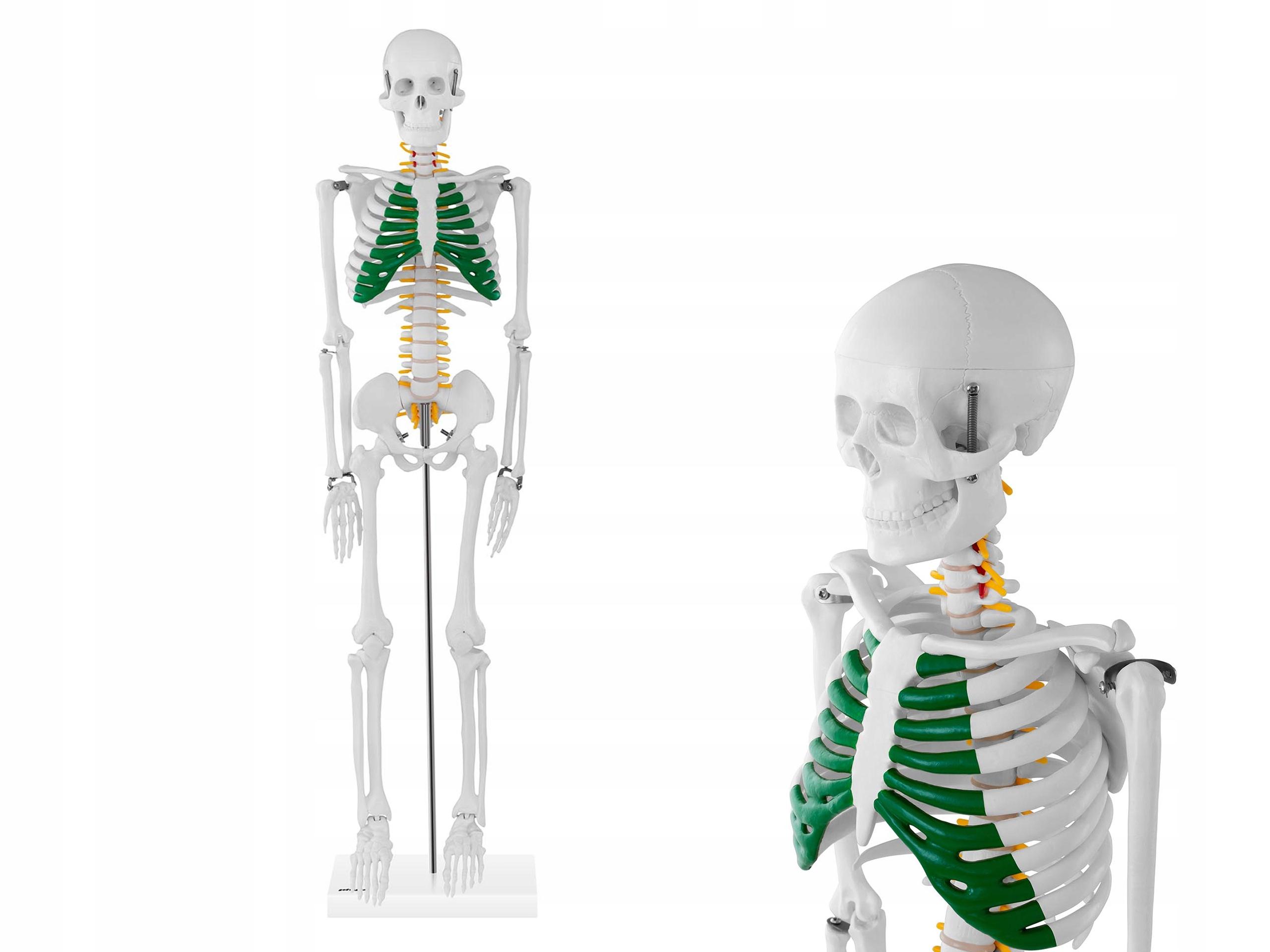 Model Anatomiczny Szkielet Czlowieka 85cm Ruchomy 9932854444 Allegro Pl