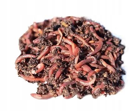 Калифорнийские дождевые черви - порция размножения 500 шт.
