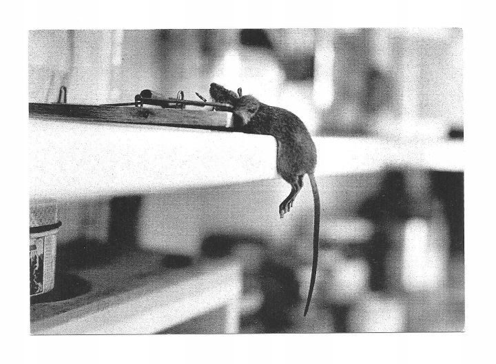Pocztówka - Szczur w pułapce na myszy ...