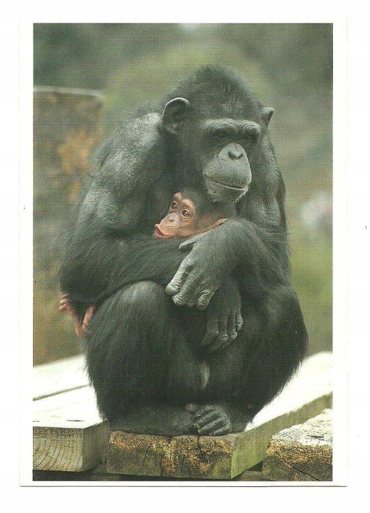 Pocztówka - Samica szympansa z młodym / małpy, ZOO