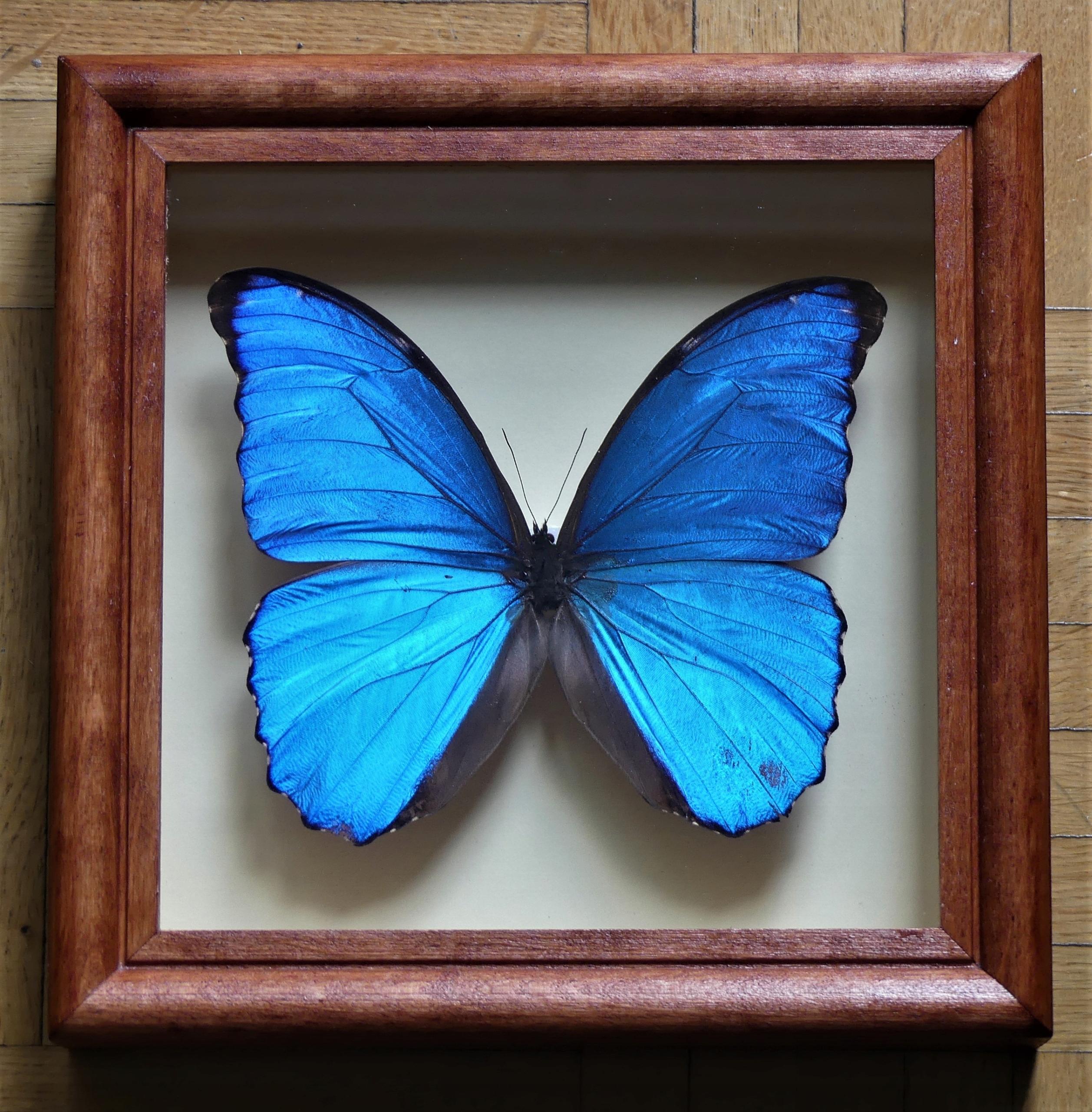 Motyl Morpho didius w gablocie !!