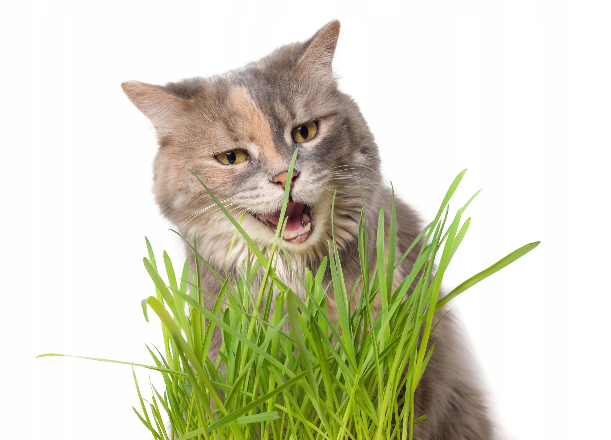 KOCIA TRAWA Cyperus Trawa dla kota KOCI PRZYSMAK !