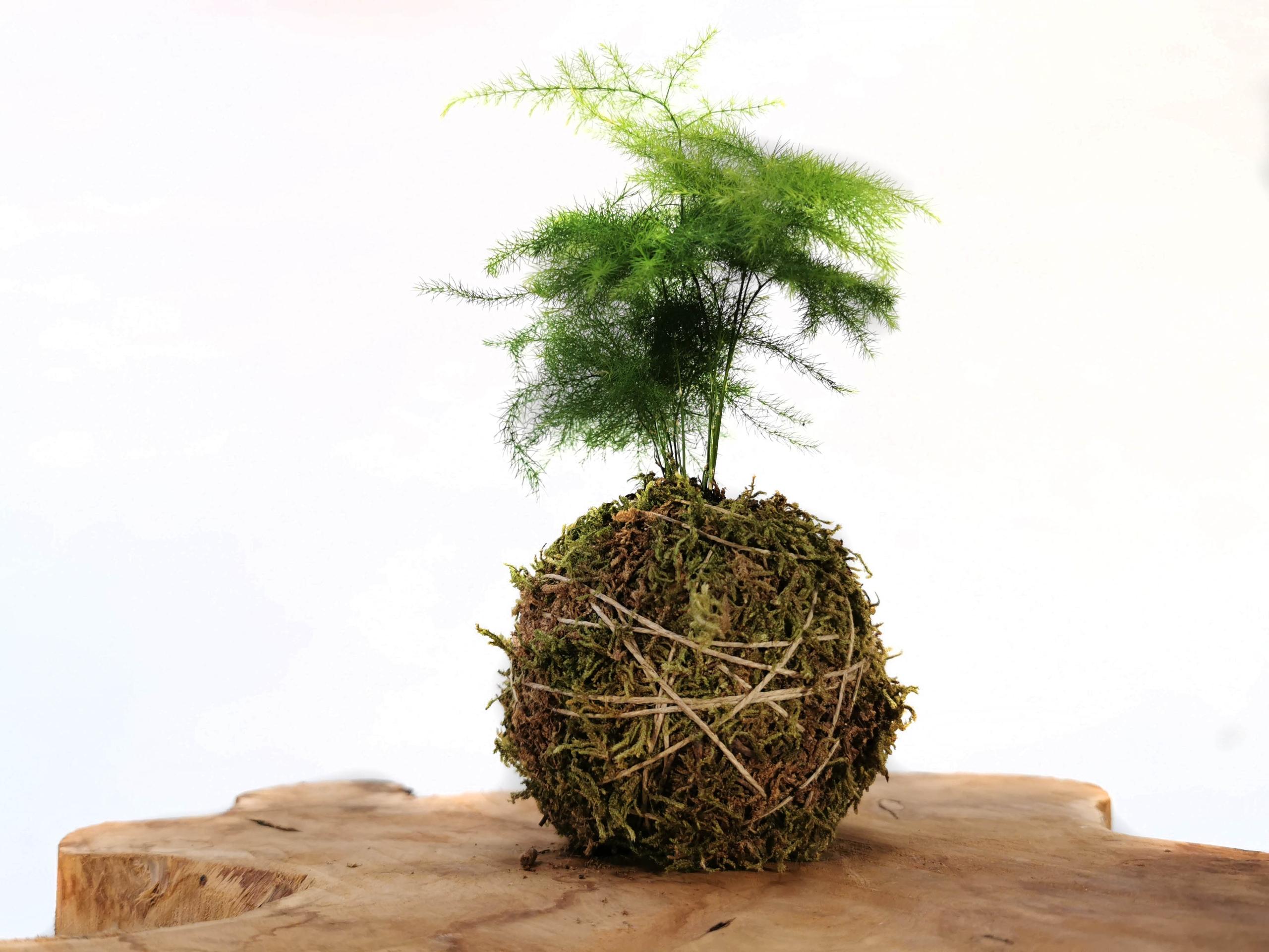 Kokedama Asparagus setaceus |Szparag pierzasty