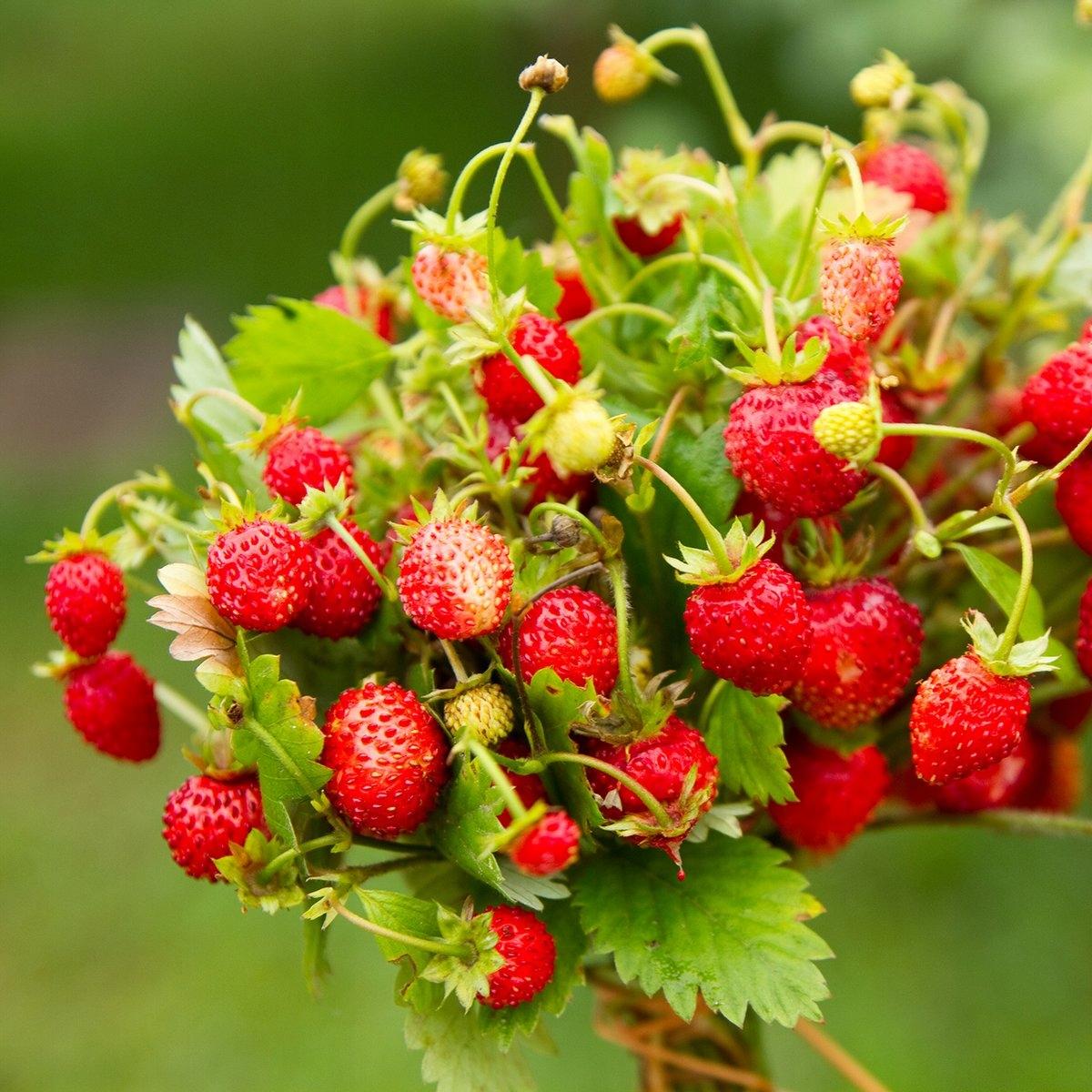 Земляника GIGANT Giant Fruits за 3 месяца