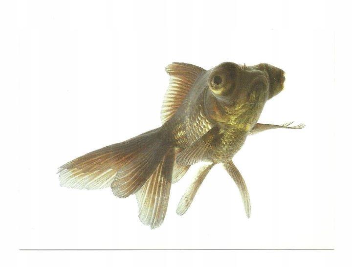 Открытка - Черный телескоп / золотая рыбка ...