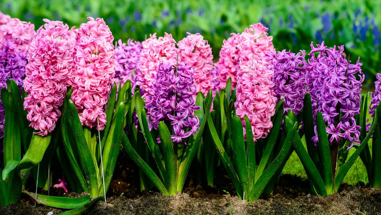 Rosliny Ogrodowe Na Kwiaty Ciete Na Bukiety Allegro Pl
