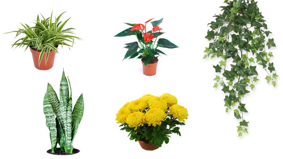 Rośliny Antysmogowe 8 Kwiatów Doniczkowych Które