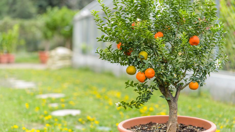 Drzewka Owocowe Mini Hit Na Balkony I Tarasy Allegropl