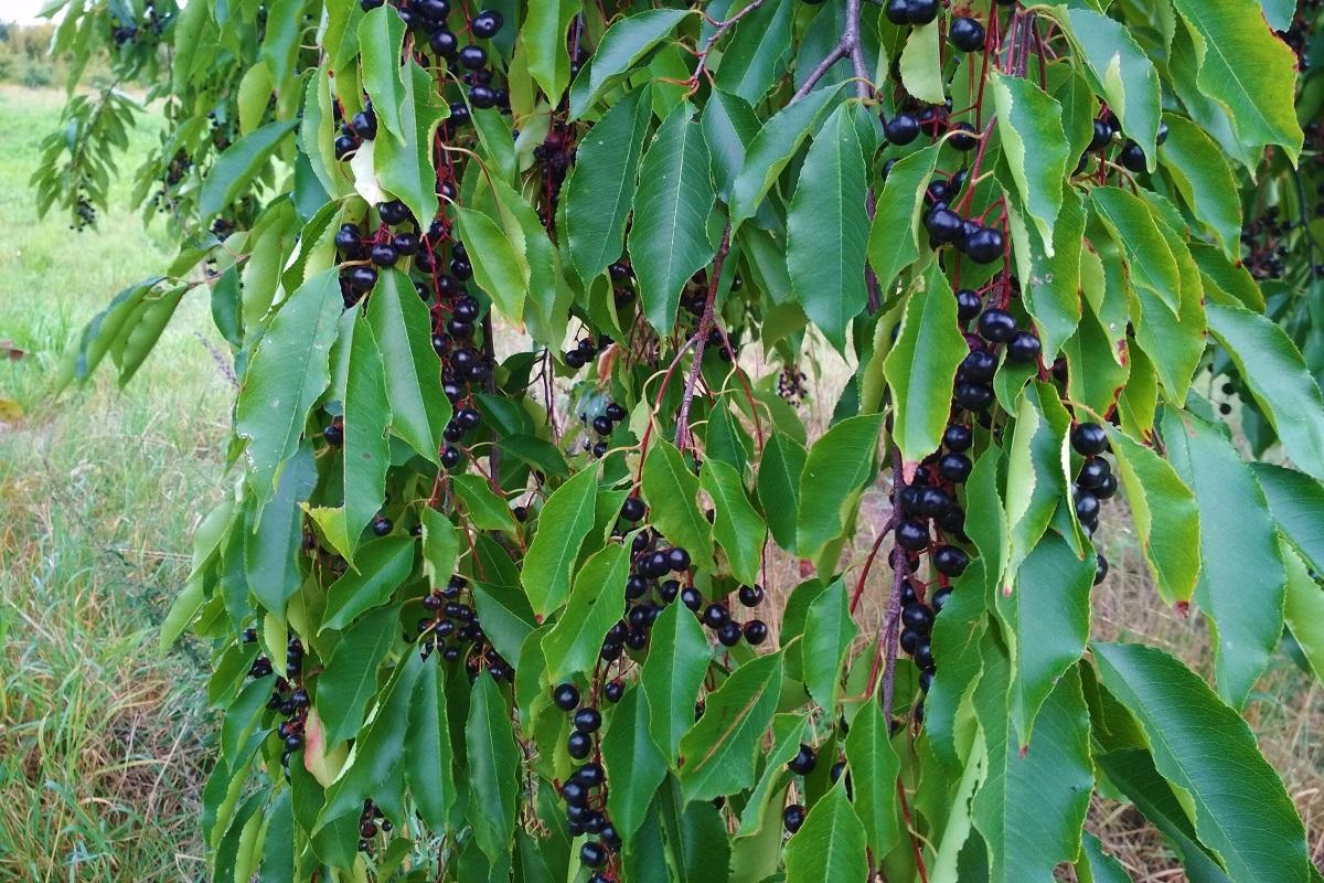 Listy a plody čerešní