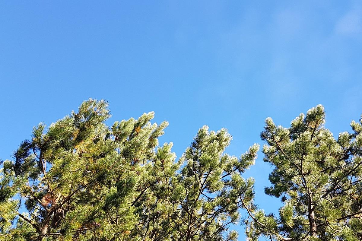 ihličnaté stromy