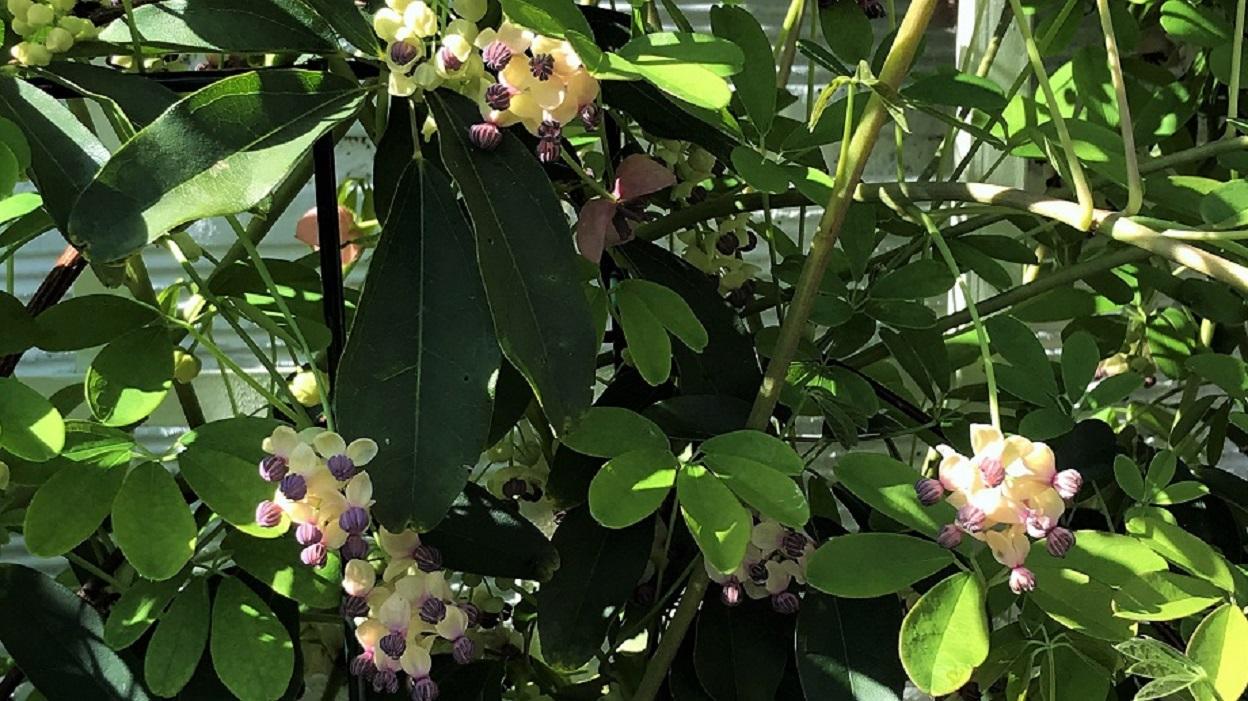 Akebia – orientalne czekoladowe pnącze