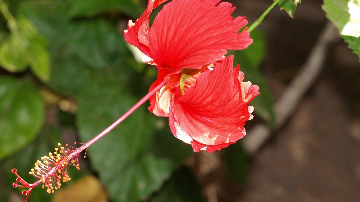 Babcia Radzi Cos Hibiskus Kwiat Jednego Dnia