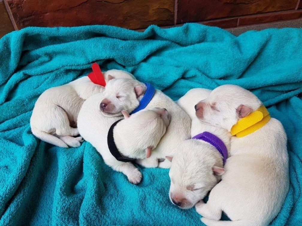 West Highland White Terrier!!! SZCZENIAKI