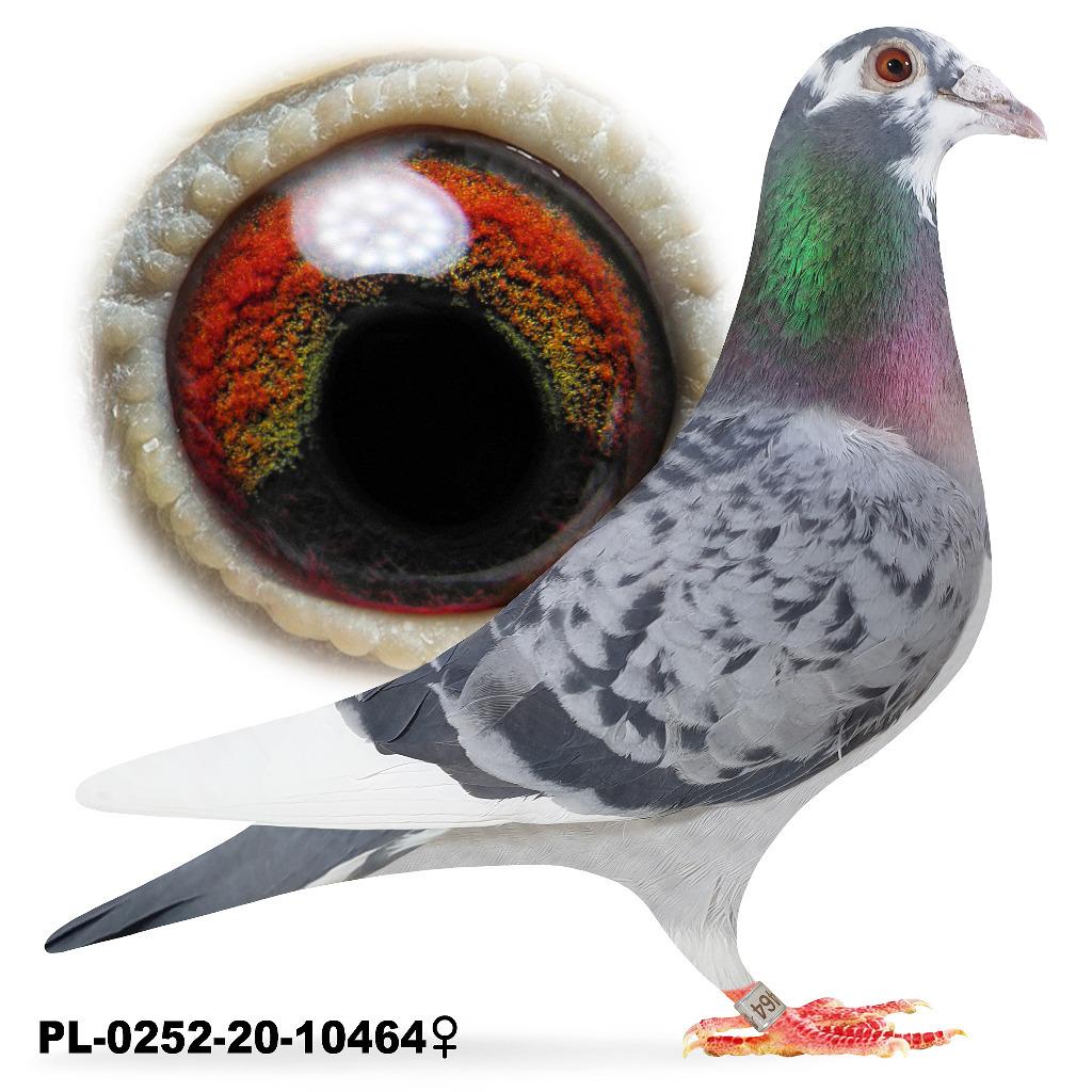 Samica Pstra 2020 Okaz Lotowana gołąb  gołębie