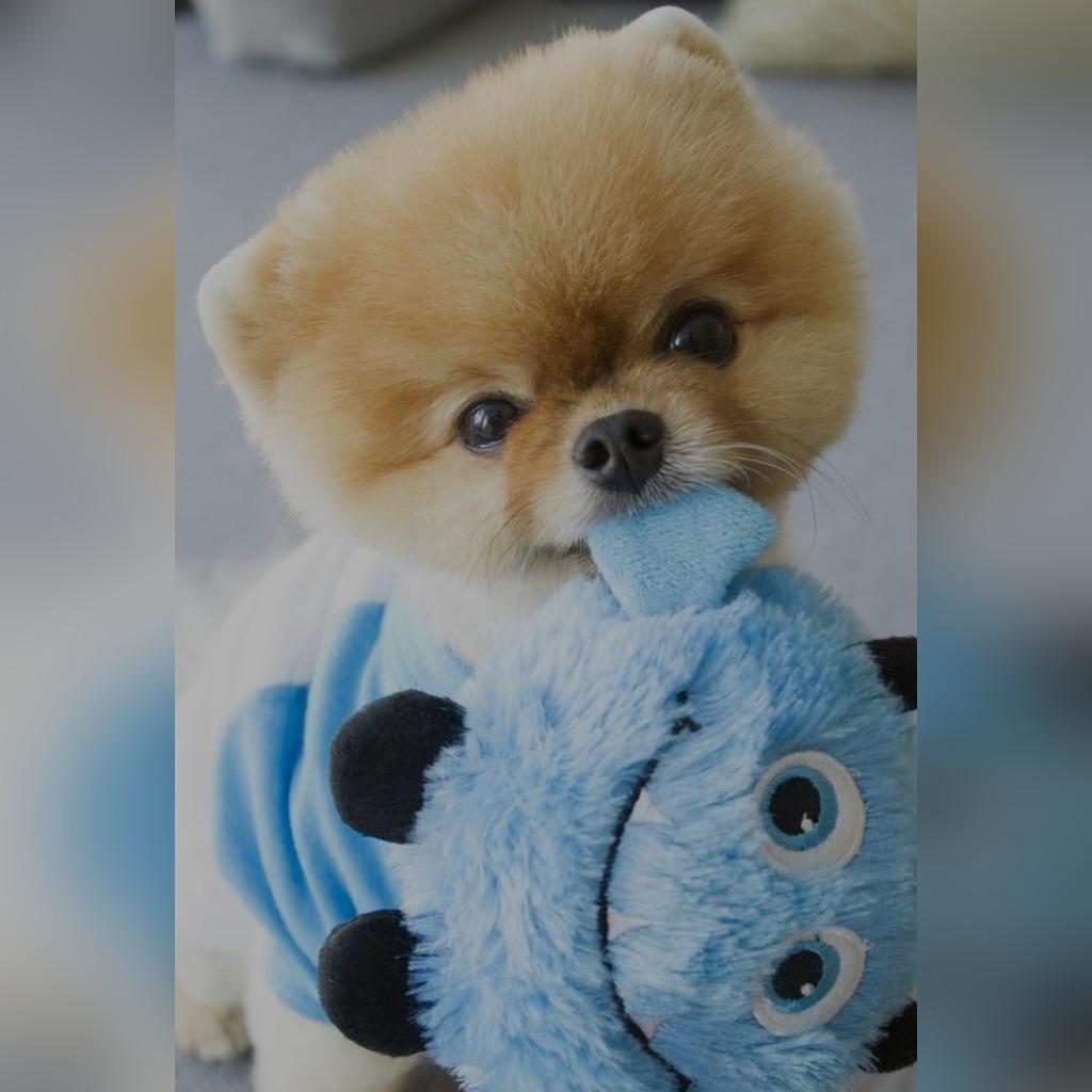 Mikro Piesek Boo Szpic Miniaturowy Pomeranian Xxxs Cena 7900 00 Zl Nowy Sacz Allegro Lokalnie