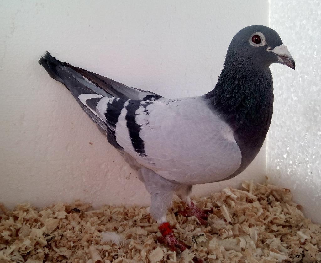 Gołębie pocztowe - samiec 17r -Witta x Van de Poel