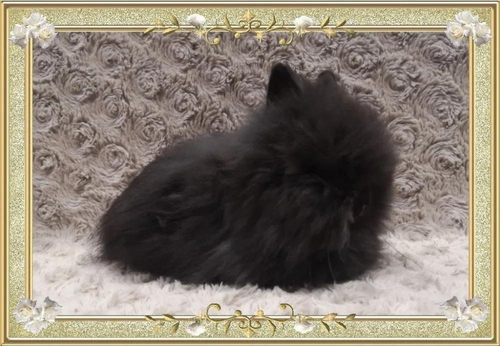 Królik Karzełek Teddy reproduktor,krycie,miniatuka