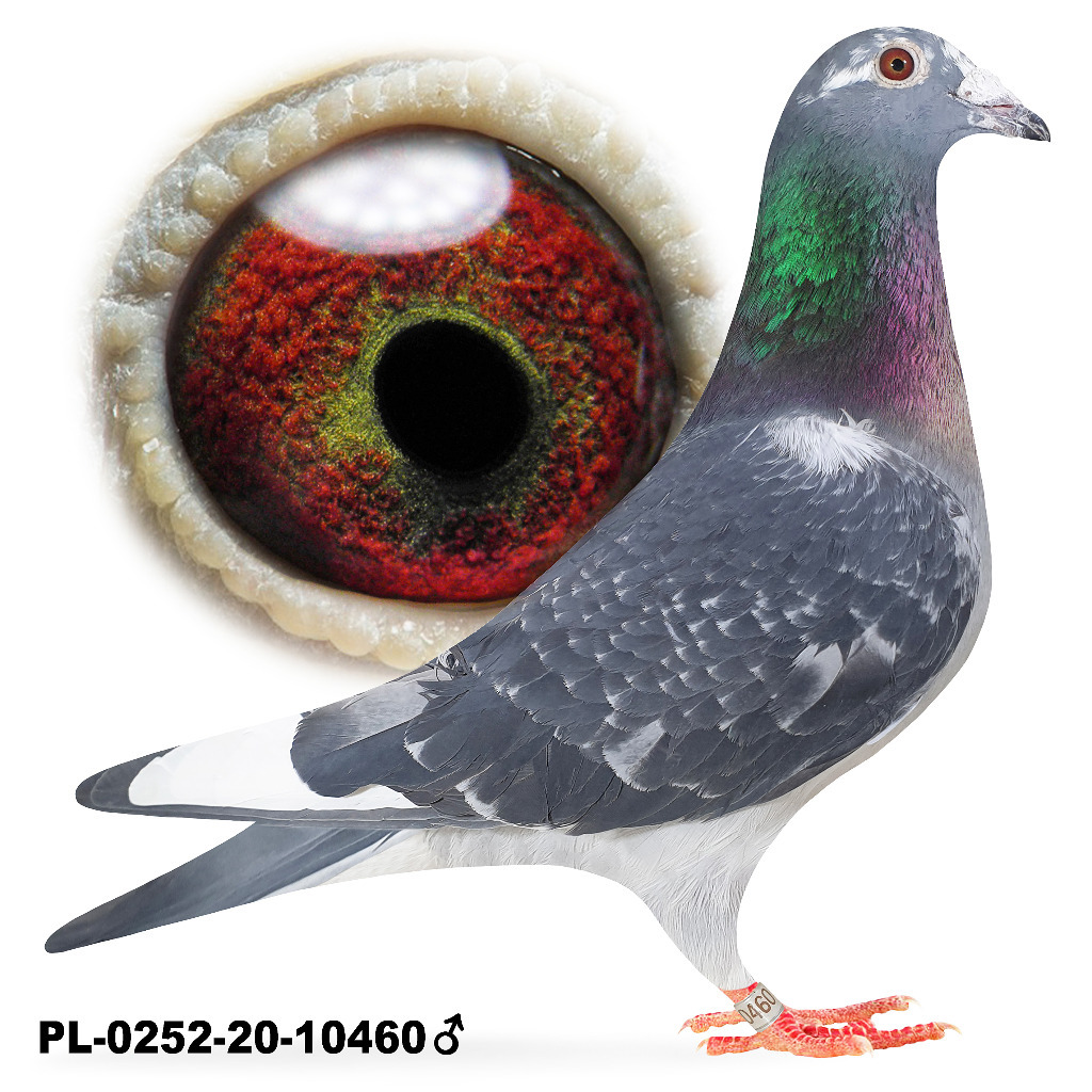 Samiec Pstry 2020 Okaz Lotowany gołąb  gołębie