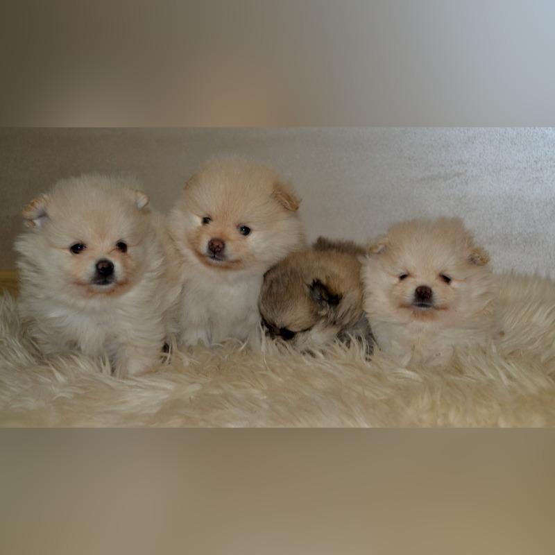 Szpic Miniaturowy Pomeranian Cudne Szczenieta Cena 2500 00 Zl Trzaskowice Allegro Lokalnie