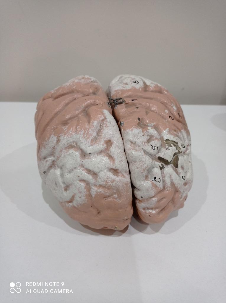 Model mózgu szkolny prl