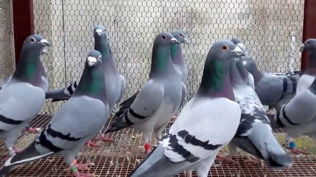 Gołębie po zmarłym tacie