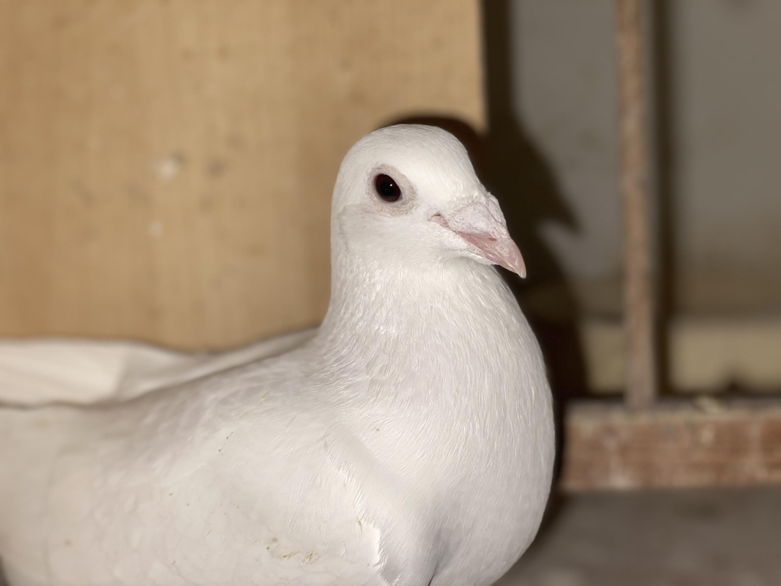 Białe gołębie pocztowe Vangramberen po Yeti